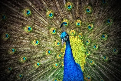 06 20 Peacock