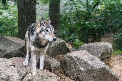 11 14 Wolf