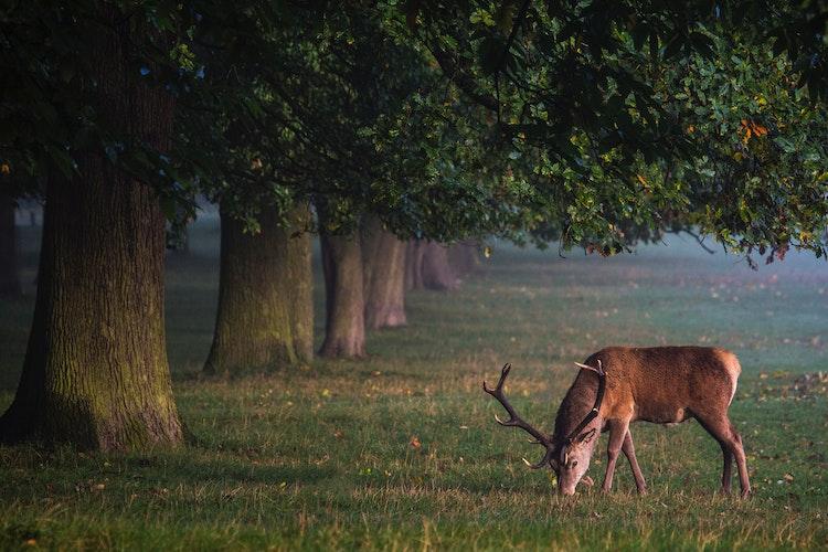 Elk Under Trees