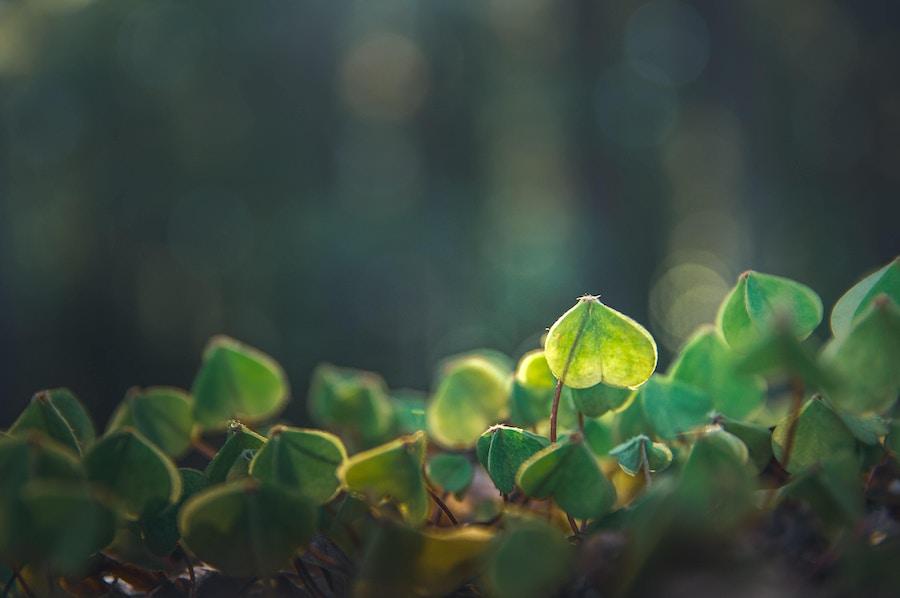 Heart shaped plants growing