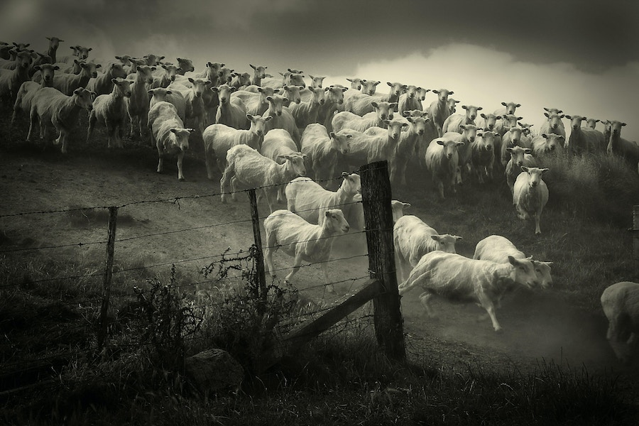 Sheep in a hurry