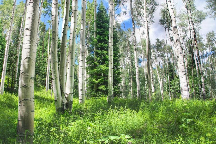 Trees Aspen