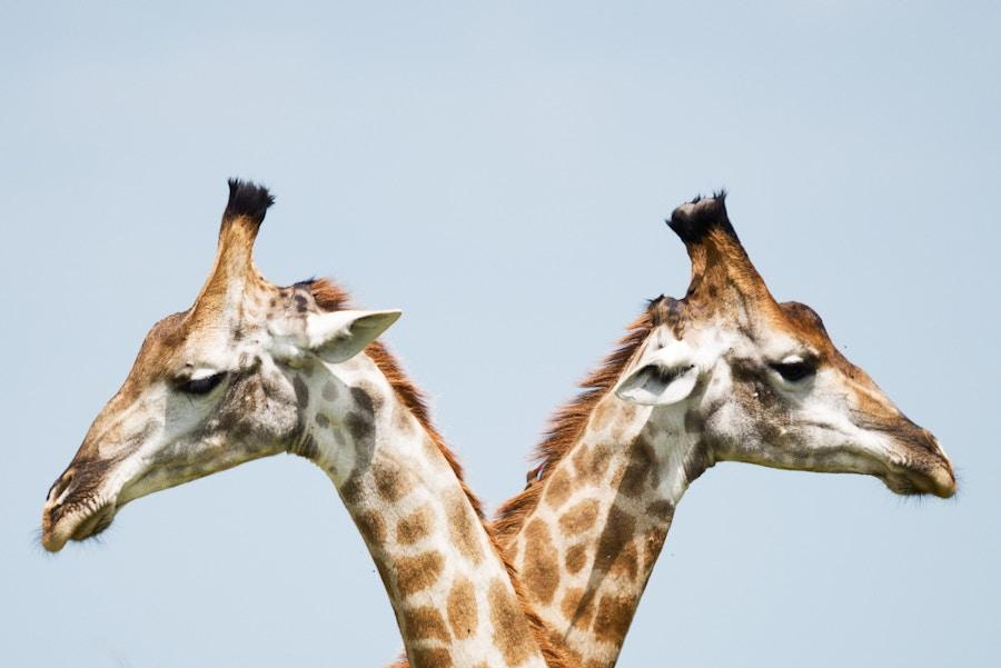 Two Giraffes Comparison