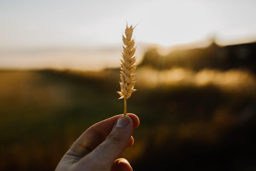 Wheat held by hand